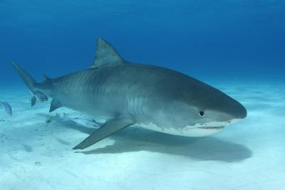 A Remora and Other Small Fish Swimming with a Tiger Shark, Galeocerdo Cuvier-Jeff Wildermuth-Photographic Print