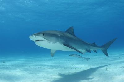A Remora Swimming Underneath a Tiger Shark, Galeocerdo Cuvier-Jeff Wildermuth-Photographic Print