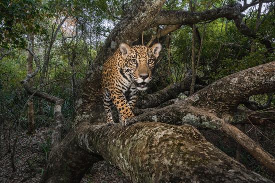 A remote camera captures a 10-month-old jaguar cub in Brazil's Pantanal region.-Steve Winter-Photographic Print