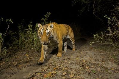A Remote Camera Captures A Bengal Tiger In Kaziranga National Park-Steve Winter-Photographic Print