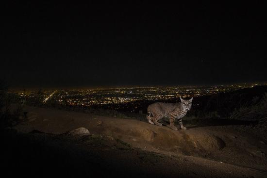 A Remote Camera Captures a Bobcat in Griffith Park-Steve Winter-Photographic Print