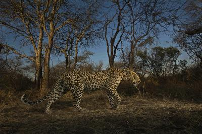 A Remote Camera Captures a Leopard in South Africa's Timbavati Game Reserve-Steve Winter-Photographic Print