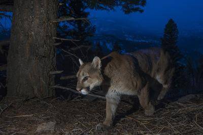 A Remote Camera Captures a Mountain Lion in Wyoming's Greater Yellowstone Ecosystem-Drew Rush-Photographic Print
