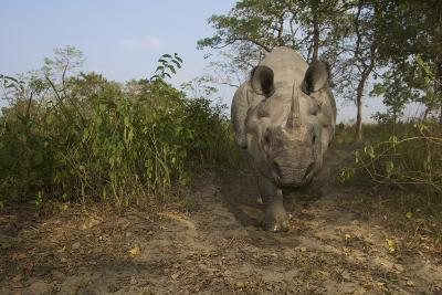 A Remote Camera Captures A One-Horned Indian Rhinoceros-Steve Winter-Photographic Print