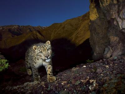 A remote camera captures an endangered snow leopard-Steve Winter-Photographic Print