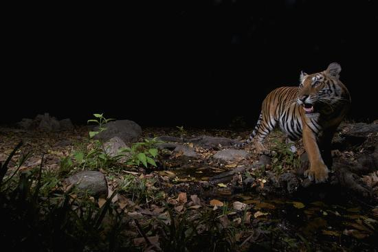 A remote camera captures an Indochinese tiger while hunting.-Steve Winter-Photographic Print
