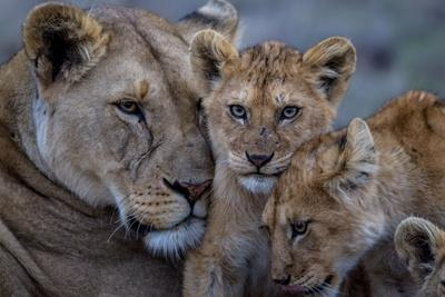 https://imgc.artprintimages.com/img/print/a-remote-car-captures-lion-cubs-from-the-vumbi-pride-with-a-lioness_u-l-polruw0.jpg?p=0