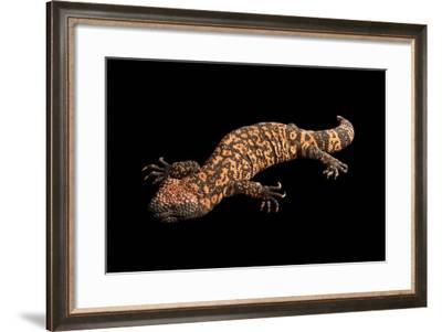 A Reticulate Gila Monster, Heloderma Suspectum.-Joel Sartore-Framed Photographic Print