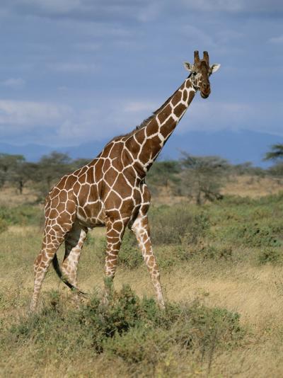 A Reticulated Giraffe on a Samburu Savanna-Roy Toft-Photographic Print