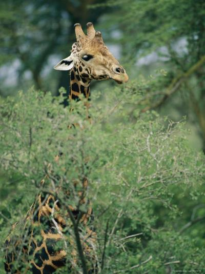 A Reticulated Giraffe Pokes its Head Above a Tree-Roy Toft-Photographic Print