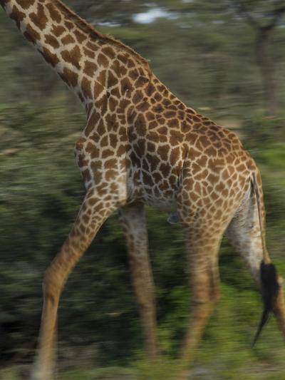 A Reticulated Giraffe Runs across the Grasslands in Tanzania-Michael Melford-Photographic Print