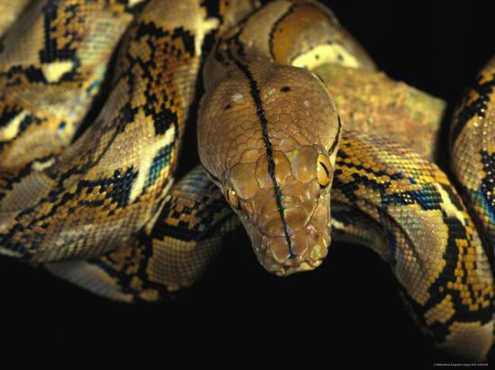 A Reticulated Python Wound Around a Tree Branch-Tim Laman-Photographic Print