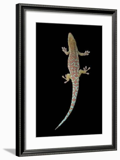 A Reunion Island Day Gecko, Phelsuma Borbonica Borbonica, at the Omaha Zoo-Joel Sartore-Framed Photographic Print
