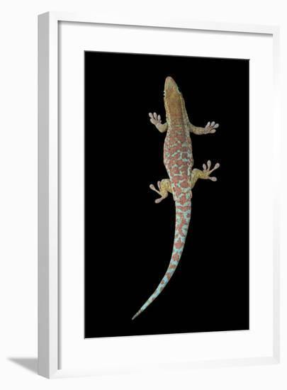A Reunion Island Day Gecko, Phelsuma Borbonica Borbonica, at the Omaha Zoo-Joel Sartore-Framed Photographic Print