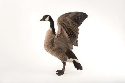 A Richardson's Cackling Goose, Branta Hutchinsii, at Sylvan Heights Bird Park-Joel Sartore-Photographic Print
