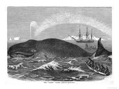 """A """"Right"""" Whale--Giclee Print"""