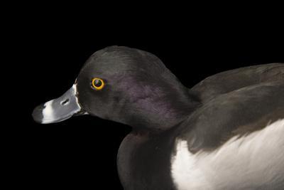 A Ring Necked Duck, Aythya Collaris, at Sylvan Heights Bird Park-Joel Sartore-Photographic Print