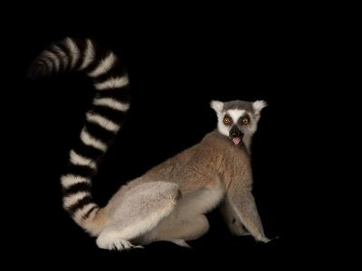 A Ring-Tailed Lemur, Lemur Catta, at the Lincoln Children's Zoo-Joel Sartore-Photographic Print