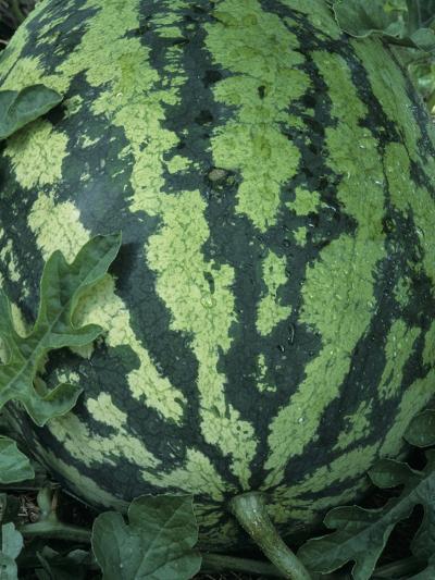 A Ripe Sweet Favorite Variety Watermelon-Wally Eberhart-Photographic Print
