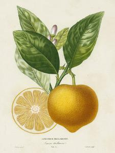 French Lemon Botanical III by A^ Risso