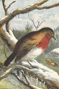 A Robin in Winter On a Snowy Branch