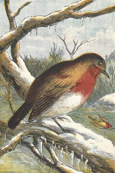 A Robin in Winter On a Snowy Branch--Giclee Print