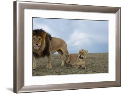 A Robot Car Captures an Adult Male Lion with a Female from the Vumbi Pride-Michael Nichols-Framed Photographic Print