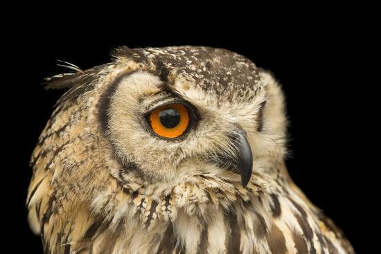 A rock eagle owl, Bubo bengalensis, at the Plzen Zoo.-Joel Sartore-Photographic Print