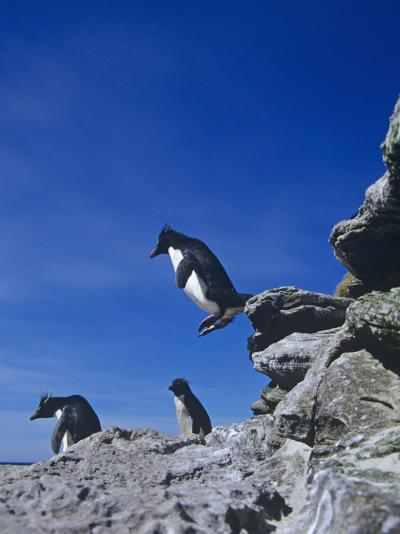A Rockhopper Penguin Hopping Rocks, Eudyptes Chrysocome, Falkland Islands-Joe McDonald-Photographic Print