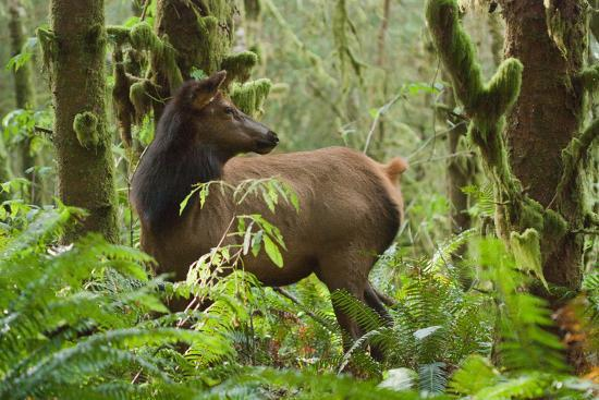 A Roosevelt Elk Stands in a Lush Forest in Ecola State Park-Vickie Lewis-Photographic Print