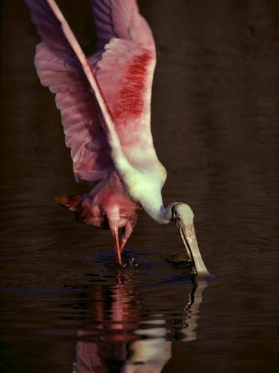 A Roseate Spoonbill Stretches its Wings as it Forages for Food-Medford Taylor-Photographic Print