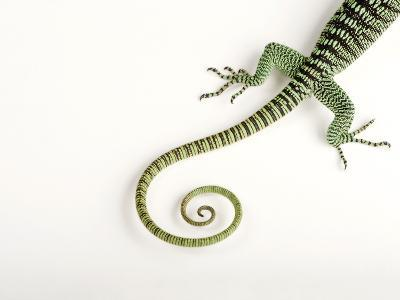 A Rosenberg's Monitor Tail, Varanus Rosenbergi, at the Fort Worth Zoo-Joel Sartore-Photographic Print