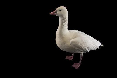 A Ross's Goose, Chen Rossii, at Sylvan Heights Bird Park-Joel Sartore-Photographic Print
