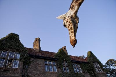A Rothschild Giraffe Appears to Be Peering Down Upon Giraffe Manor-Robin Moore-Photographic Print
