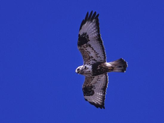 A Rough-Legged Hawk, Buteo Lagopus, in the Seal River Area-Kike Calvo-Photographic Print