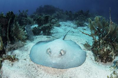 A Roughtail Stingray Rests on the Seafloor Near Turneffe Atoll-Stocktrek Images-Photographic Print