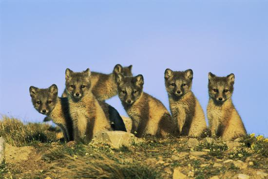 A Row of Curious Young Arctic Foxes (Alopex Lagopus) Eye the Photographer-Norbert Rosing-Photographic Print