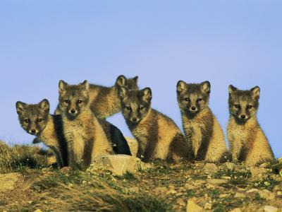 A Row of Curious Young Arctic Foxes Eye the Photographer-Norbert Rosing-Photographic Print