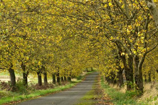 A Row of Trees Line a Country Lane in Fall-Vickie Lewis-Photographic Print