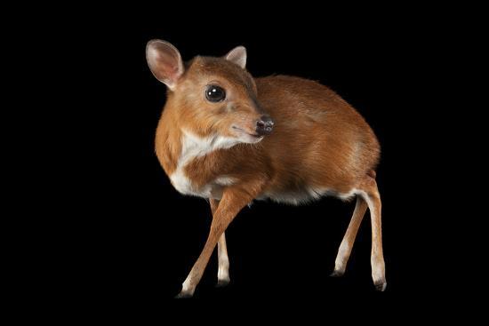 A Royal Antelope, Neotragus Pygmaeus, Smallest of All Antelopes, at the Los Angeles Zoo.-Joel Sartore-Photographic Print