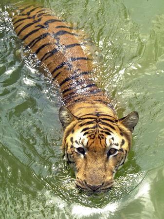 https://imgc.artprintimages.com/img/print/a-royal-bengal-tiger_u-l-q10orma0.jpg?p=0