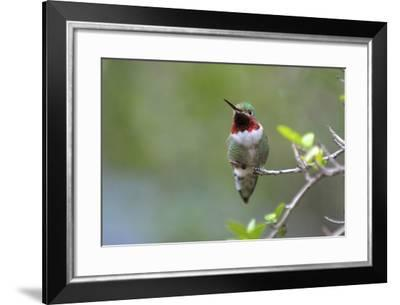 A Ruby-Throated Hummingbird, One of the Most Common of the Hummers-Richard Wright-Framed Photographic Print