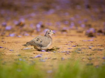 A Ruddy Ground Dove Forages Through Fallen Purple Flowers in Sao Paulo's Ibirapuera Park-Alex Saberi-Photographic Print