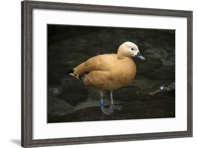 A Ruddy Shelduck, Tadorna Ferruginea, at the Taronga Zoo-Joel Sartore-Framed Photographic Print