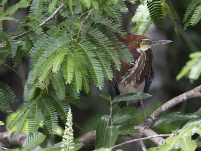 A Rufescent Tiger-Heron, Tigrisoma Lineatum, Perched in a Tree-Roy Toft-Photographic Print