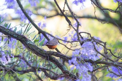 A Rufous Bellied Thrush, Turdus Rufiventris, on a Jacaranda Tree Branch in Ibirapuera Park-Alex Saberi-Photographic Print