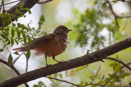 A Rufous Hornero Bird, Furnarius Rufus, Sits in a Tree at Sunset in Ibirapuera Park-Alex Saberi-Photographic Print