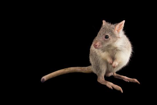 A Rufous Rat-Kangaroo, Aepyprymnus Rufescens, at the Wild Life Sydney Zoo-Joel Sartore-Photographic Print