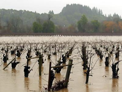 A Russian River Vineyard Remains Flooded Near Forestville, Calif.--Photographic Print