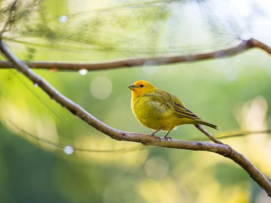 A Saffron Finch, Sicalis Flaveola, Resting in a Tropical Scene in the Atlantic Rainforest-Alex Saberi-Photographic Print